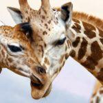 Giraffe-shutterstock_95778352