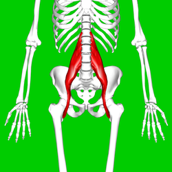 250px-Psoas_major_muscle11