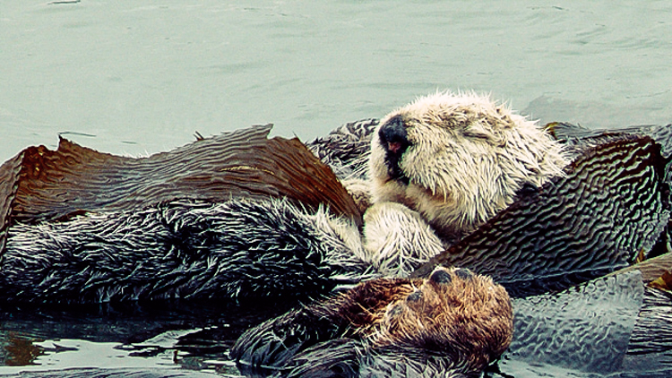 3_otters_lower-carbon-dioxide
