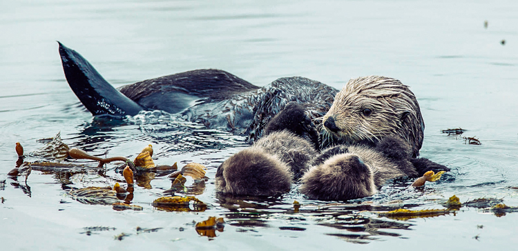 4_otters_lower-carbon-dioxide