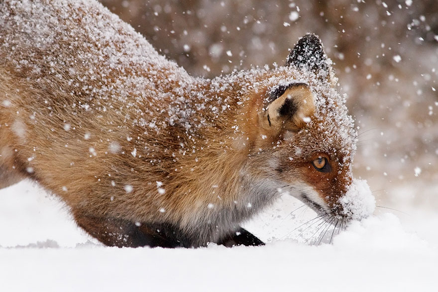 Fifty-Shades-Of-White-With-A-Touch-Of-Red-New-Fox-Photos-In-Winter-By-Roeselien-Raimond5__880