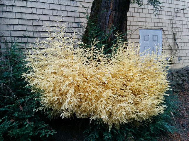 albino-redwood-shrub