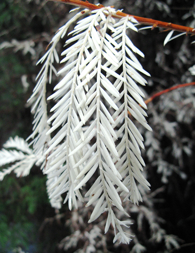albino-redwood-white-needles_1