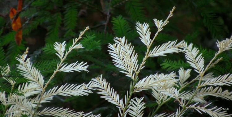 albino-tree-4