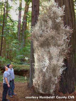 albino-tree