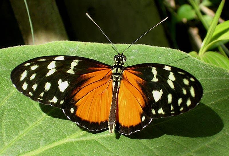 costa rica butterfly4
