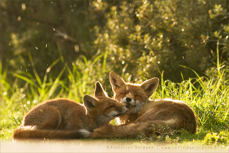 fox_grooming_rain