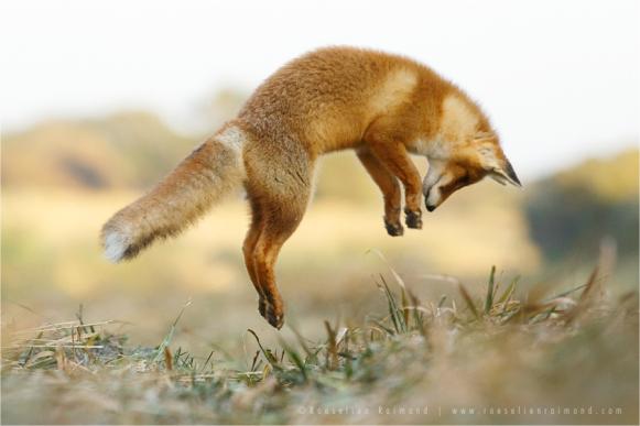 fox_jumping-2