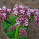 640px-Valeriana_officinalis_002