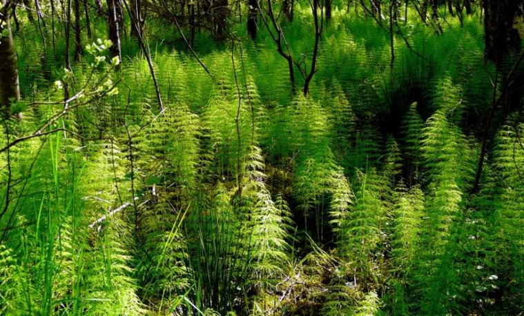 Horsetail-Herb