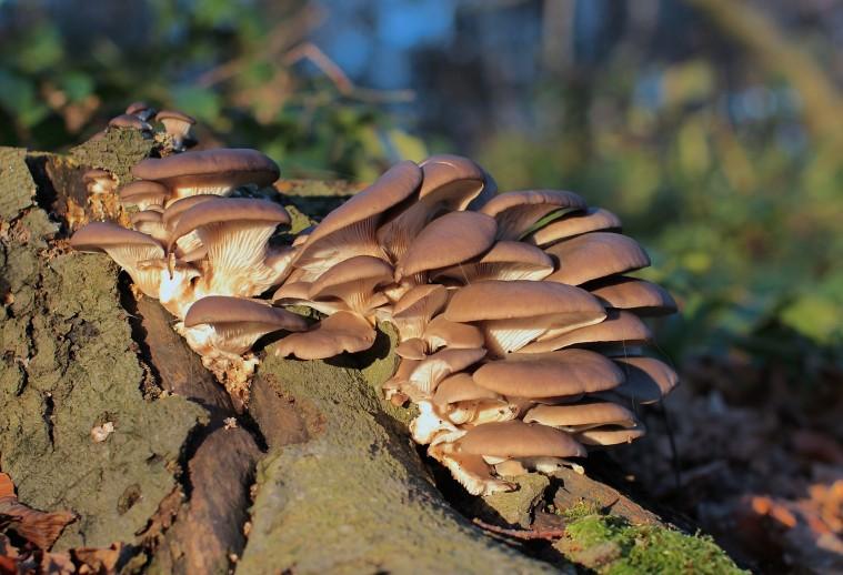 Pleurotus_ostreatus,_Oyster_Mushroom,_Enfield,_UK