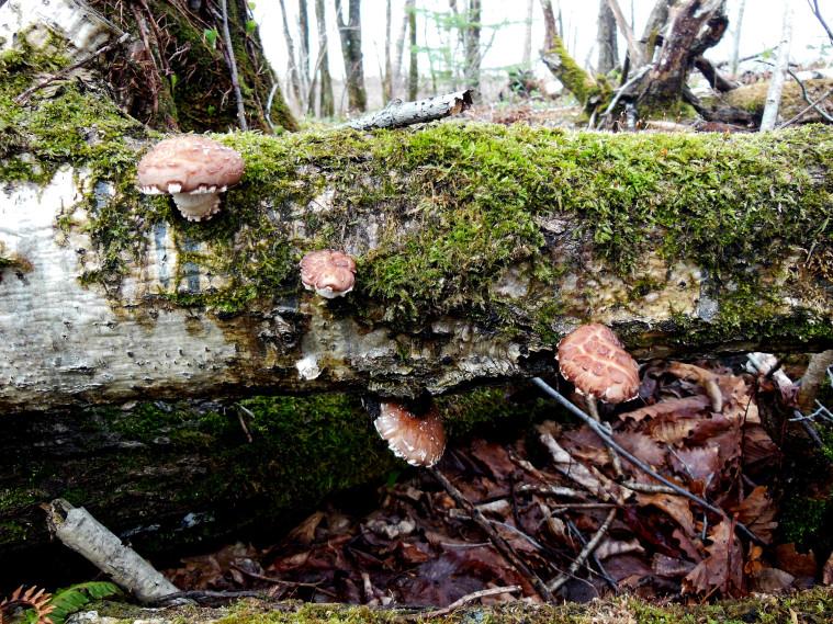 Wild_Shiitake-Mushroom_Japan