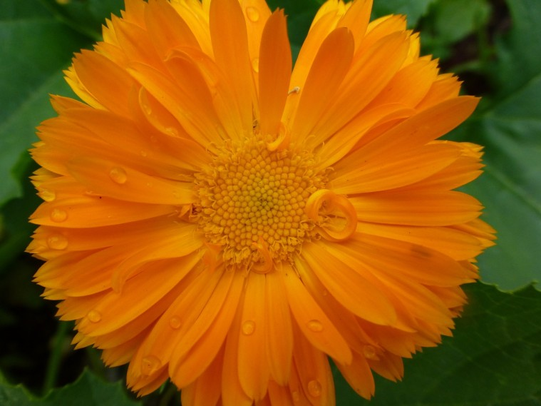 calendula-officinalis-681340_1280