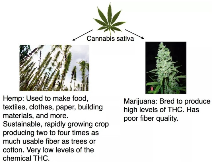 cannabis vs hemp