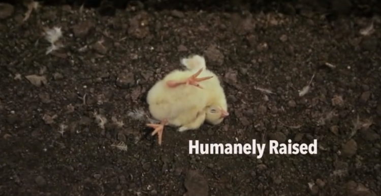 not-humanely-raised-chicken
