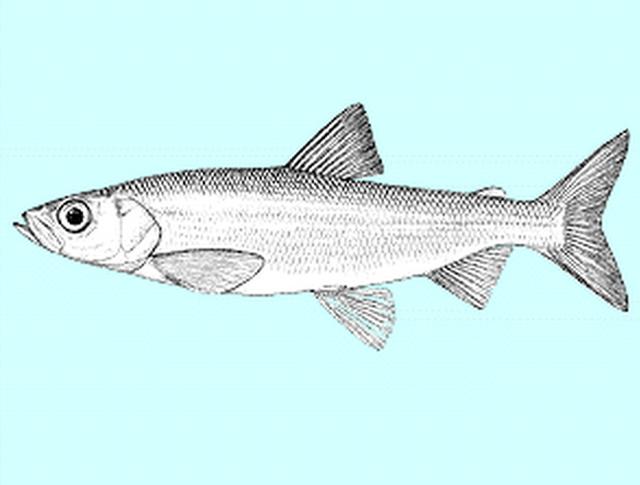 Coregonus-kiyi-orientalis