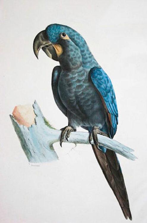 Glaucous-Macawweb