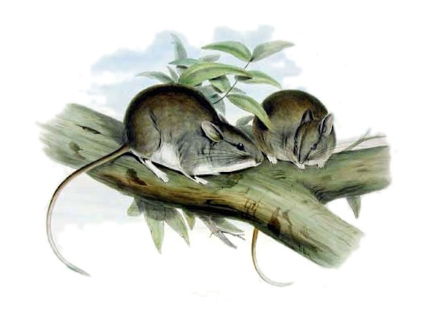 Lesser-Stick-nest-Ratweb