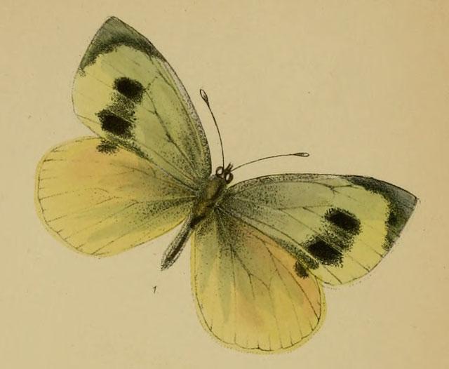 Madeiran-Large-White