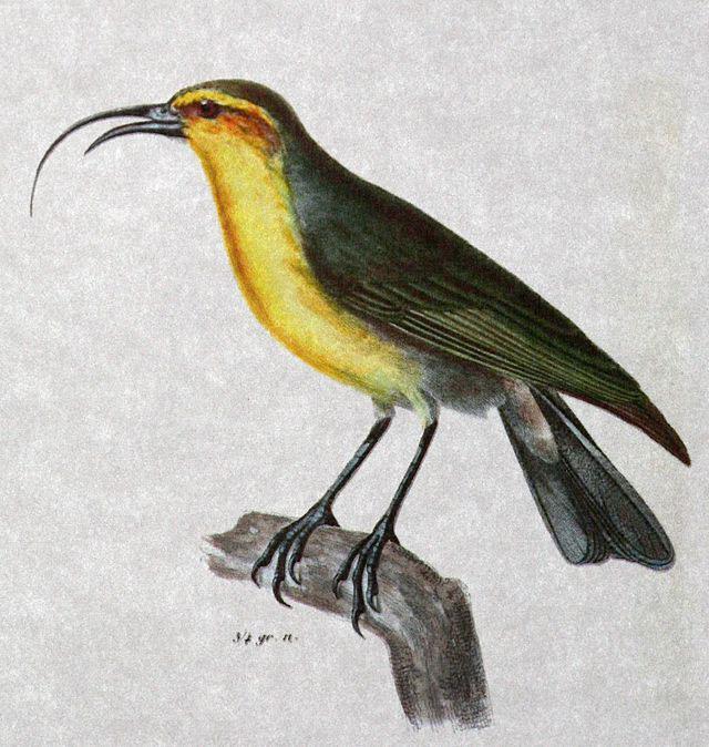 NukupuuHemignathuslucidusforweb