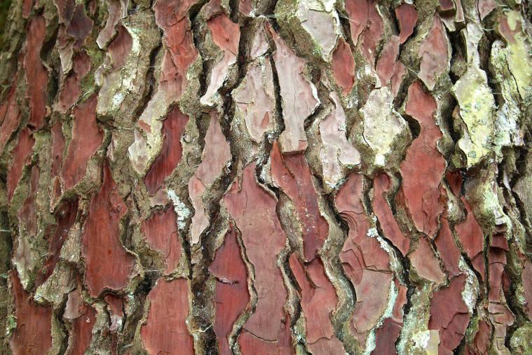 Pinus_pinaster_JPG2