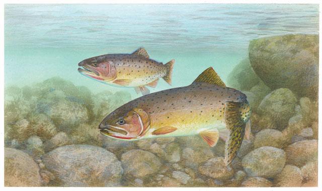 Trout_cutthroat_fish_oncorhynchus_clarkii_clarkiiweb