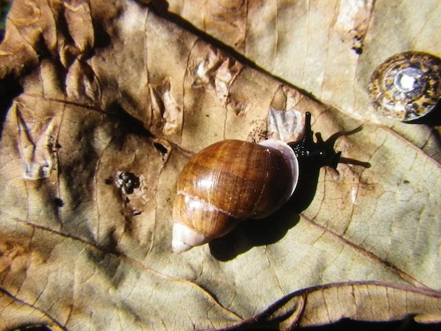 Vine-Raiatea-Tree-Snail