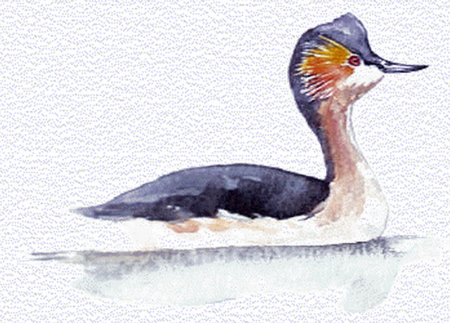 colombiangrebe