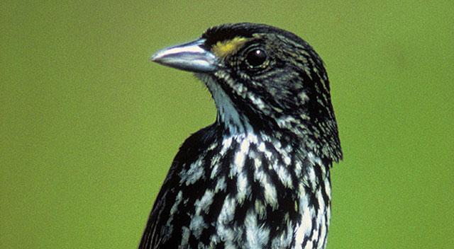 duskysparrow