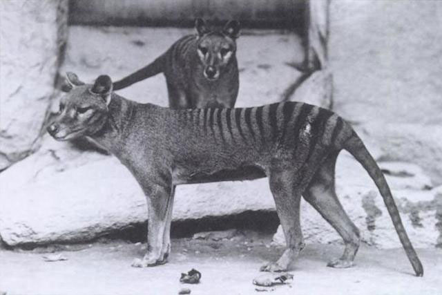 tasmaniantigerweb