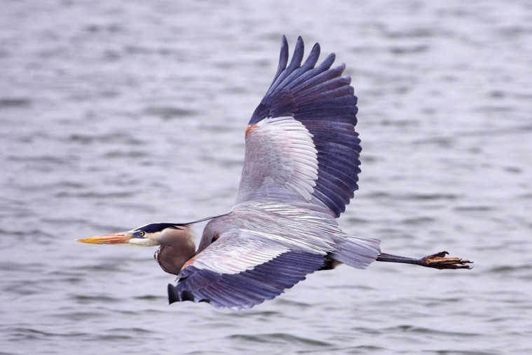 Great_blue_heron_-_natures_pics