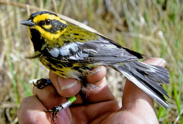 townsend-warbler-bird-in-hand-dendroica-townsendi-725x490