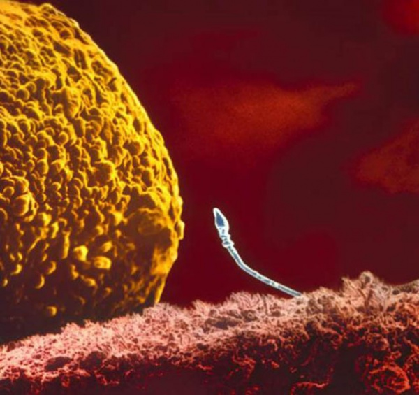 A moment each and every one of us experienced, when the sperm meets the egg. (Lennart Nilsson)