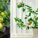 potted-fruit-plants