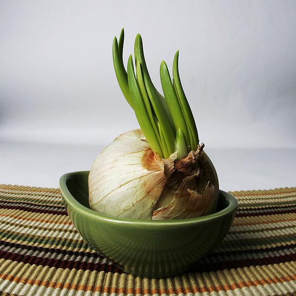 600px-Garlic_growing