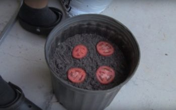 He Puts 4 Slices of Tomato in a Pot of Compost. 10 Days Later, I Can't Believe it!