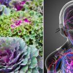 cabbage health FI