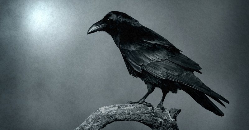 Seeing A Lot Of Crows Lately This Is What It Means For Your Life