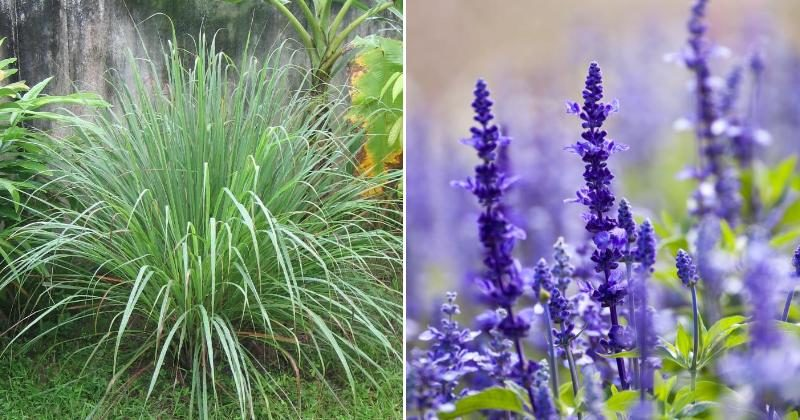 Fet The Spray 9 Plants That Naturally Keep Mosquitos Away Spirit Science