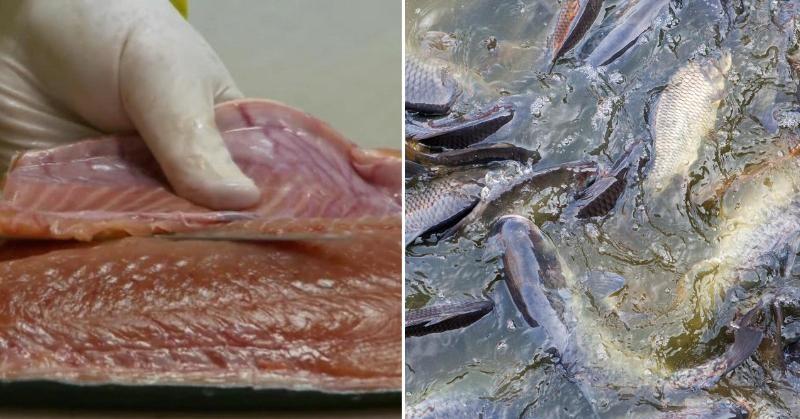 farmed fish FI