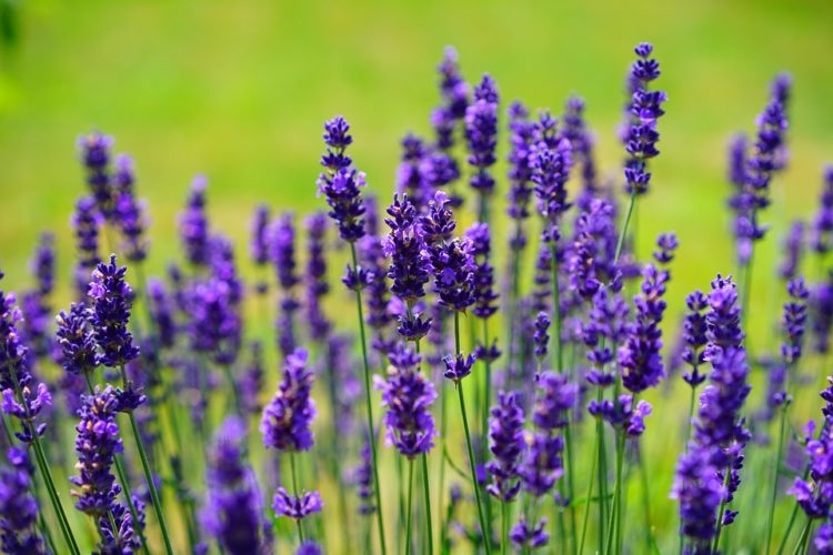 lavender-1117275_960_720