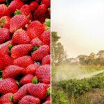 strawberry toxin FI