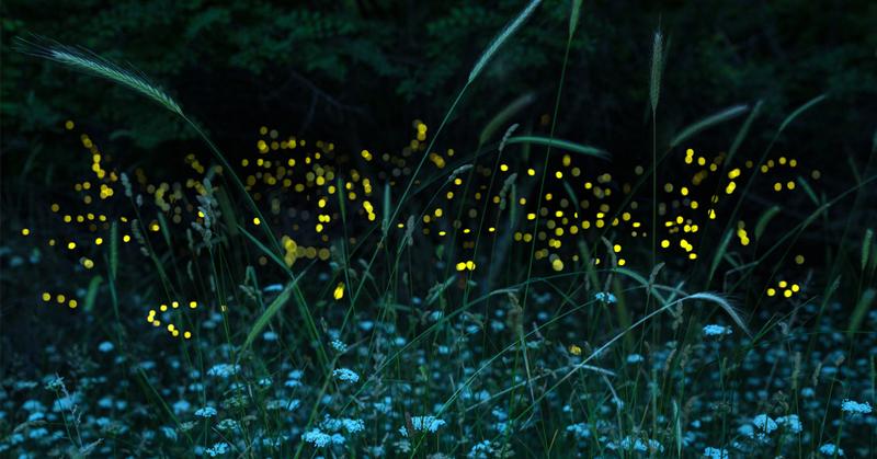 fireflies backyard FI
