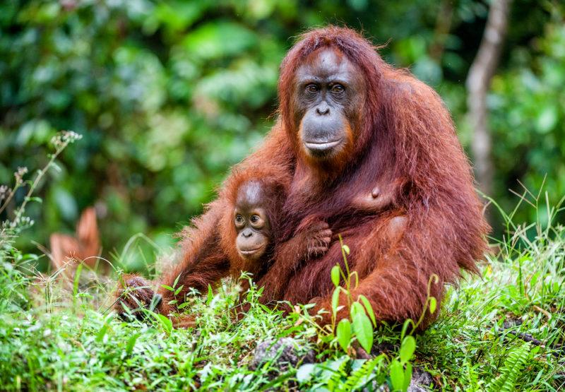orangutan avoid palm oil