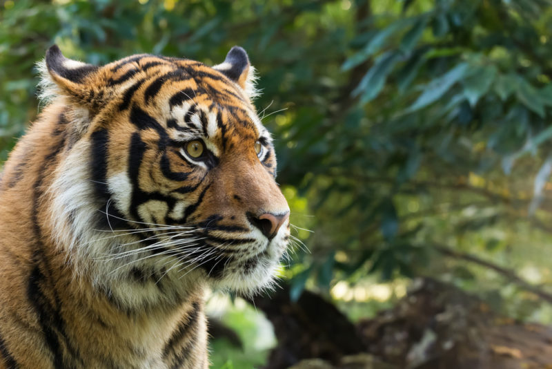 tiger avoid palm oil
