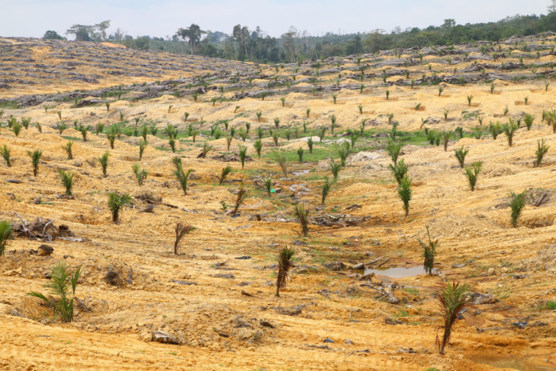 palm oil clear cut