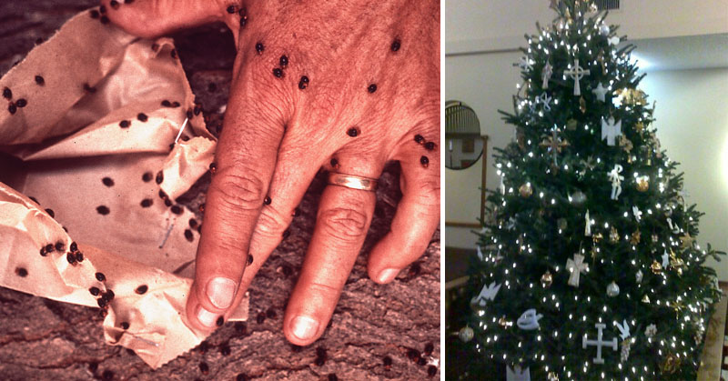 Is Your Christmas Tree Crawling With Bugs? Here's How To Find Out ...