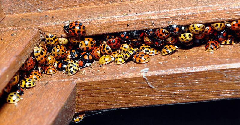 ladybug lookalikes FI