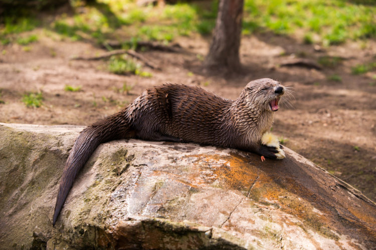 The giant otter is one Amazonian species reportedly under threat of endangerment.