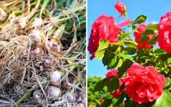 7 Companion Plants You Should Always Grow Together